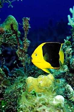 Rock Beauty, Holacanthus tricolor, British Virgin Islands, BVI, Caribbean Sea, Leeward Islands