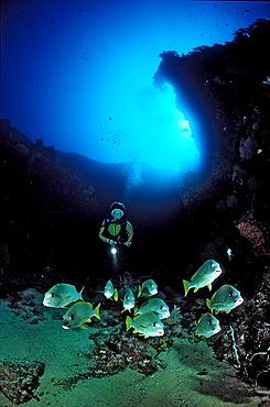 Celebes sweetlips and scuba diver, Plectorhinchus chrysotaenia, Palau, Pacific ocean