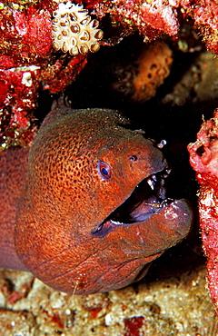 Red-white spottet cleaner shrimp cleaning Yellow-margined moray, Leandrites cyrtorhynchus, Gymnothorax flavimarginatus, Djibouti, Djibuti, Africa, Afar Triangle, Gulf of Aden, Gulf of Tadjourah