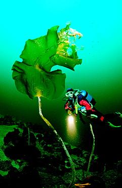 Scuba diver and Kelp, Norway, Atlantic ocean, north atlantic ocean
