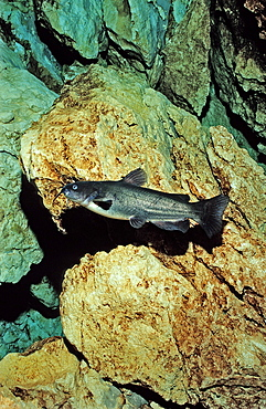 White catfish (Ameiurus catus), Catfish Corner, Crystal River, Florida, United States of America, North America