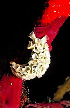 Lettuce sea slug, Tridachia crispata, Guadeloupe, French West Indies, Caribbean Sea