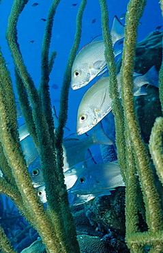 Game fish, Gray snapper, Lutjanus griseus, Netherlands Antilles, Bonaire, Caribbean Sea