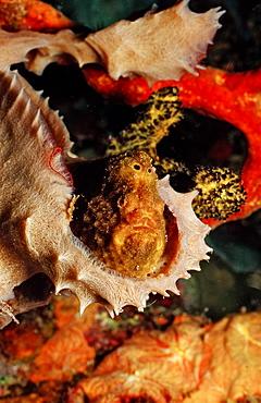 Longlure Frogfish, Antennarius multiocellatus, Martinique, French West Indies, Caribbean Sea