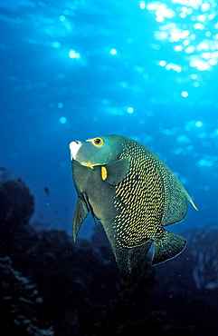 French Angelfish, Pomacanthus paru, Saint Lucia, French West Indies, Caribbean Sea