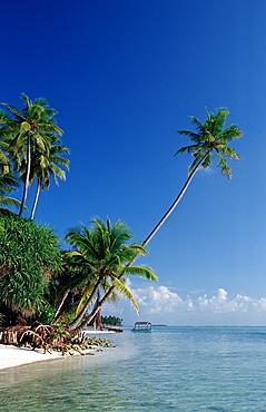 Beach with Palm Trees, Maldives, Indian Ocean, Medhufushi, Meemu Atoll