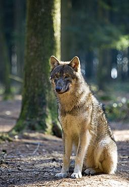 Wolf, Canis lupus, Germany, Bavaria