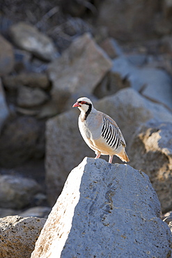 Chukar at Haleakala Volcano Crater, Alectoris chukar, Maui, Hawaii, USA