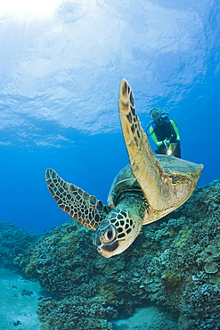 Green Turtle and Diver, Chelonia mydas, Maui, Hawaii, USA - 759-5983