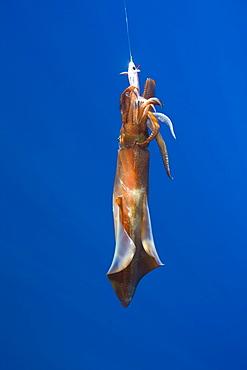 Veined Kalmar on Fish Hook , Loligo forbesi, Azores, Atlantic Ocean, Portugal