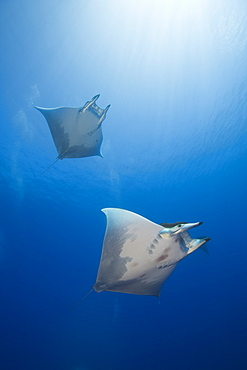 Sicklefin Mobulas, Mobula tarapacana, Azores, Princess Alice Bank, Atlantic Ocean, Portugal