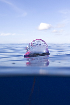 Portuguese Man of War, Physalia physalis, Azores, Atlantic Ocean, Portugal