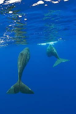 Sperm Whale Mother and Calf, Physeter catodon, Azores, Atlantic Ocean, Portugal