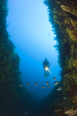 Scuba Diver over Reef, Tamariu, Costa Brava, Mediterranean Sea, Spain