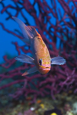 Mediterranean Anthias, Anthias anthias, Pedra de Deu, Medes Islands, Costa Brava, Mediterranean Sea, Spain