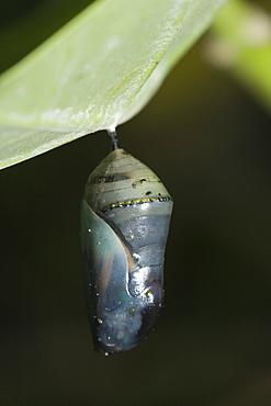 Chrysalis of Monarch Butterfly, Danaus plexippus, Peleliu Island, Micronesia, Palau