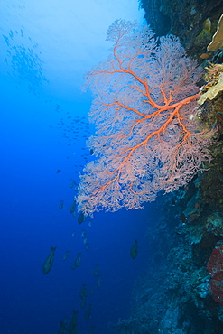 Sea Fan on Wall, Melithaea, Siaes Wall, Micronesia, Palau
