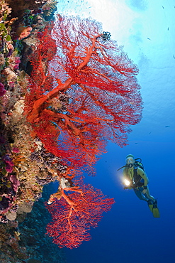 Diver and Sea Fan, Melithaea, Peleliu Wall, Micronesia, Palau