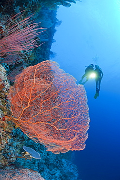 Giant Sea Fan and Diver, Annella mollis, Peleliu Wall, Micronesia, Palau