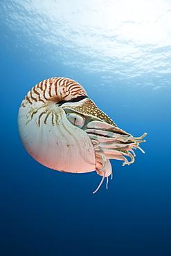 Chambered Nautilus, Nautilus belauensis, Micronesia, Palau