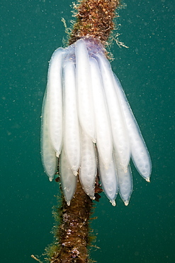 Eggmass of Squid attached on Rope, Istria, Adriatic Sea, Croatia