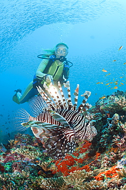 Diver and Lionfish, Pterois miles, Maya Thila, North Ari Atoll, Maldives