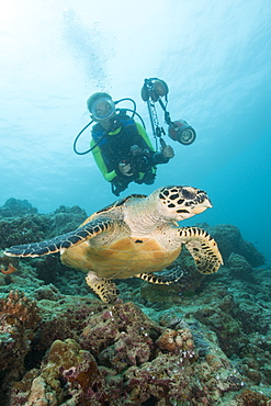 Diver and Hawksbill Turtle, Eretmochelys imbricata, Kandooma Caves, South Male Atoll, Maldives