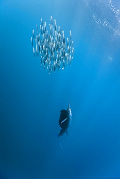Sailfish (Istiophorus albicans) hunting sardines, Isla Mujeres, Yucatan Peninsula, Caribbean Sea, Mexico, North America