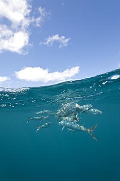 Hurted sardines (Sardina pilchardus), Isla Mujeres, Yucatan Peninsula, Caribbean Sea, Mexico, North America