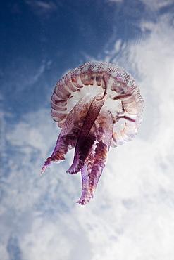 Mauve Stinger Jellyfish (Pelagia noctiluca), Cap de Creus, Costa Brava, Spain, Mediterranean, Europe
