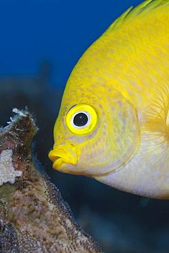 Golden damsel (Amblyglyphidodon aureus), cleaning brood, Namena Marine Reserve, Fiji, Pacific