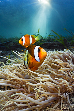 Leather sea anemone (Heteractis crispa) with Clarks anemonefish, (Amphiprion clarkii), Cenderawasih Bay, West Papua, Indonesia, Southeast Asia, Asia