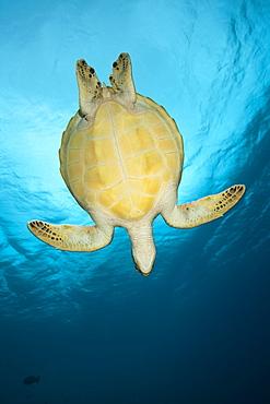 Green sea turtle (Chelonia mydas), Baa Atoll, Maldives, Indian Ocean, Asia