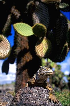 Land Iguana Conolophus subcristatus main food source is fruit from cactus, on South Plazas Island, Galapagos Islands, Ecuador