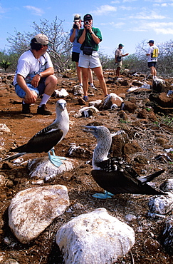 Tourists on ecotourism trip to North Seymour Island with a pair of Blue-footed Booby, Sula nebouxii excisa, Galapagos Islands, Ecuador