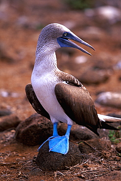 Blue-footed Booby, Sula nebouxii excisa on North Seymour Island, Galapagos Islands, Ecuador