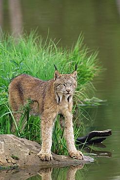 Lynx (Lynx canadensis), in captivity, Sandstone, Minnesota, United States of America, North America