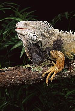 Green iguana (Iguana iguana) in captivity, from central South America