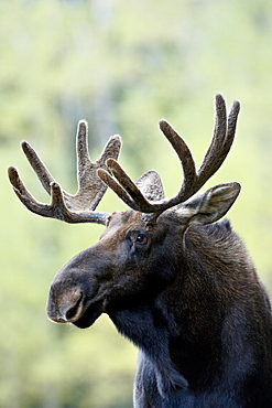 Bull moose (Alces alces), Roosevelt National Forest, Colorado, United States of America, North America