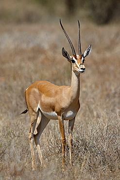 Male Grant's gazelle (Gazella granti), Samburu National Reserve, Kenya, East Africa, Africa