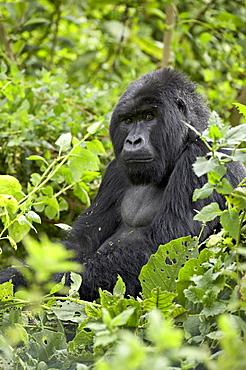 Silverback mountain gorilla (Gorilla gorilla beringei), Shinda Group, Volcanos National Park, Rwanda, Africa