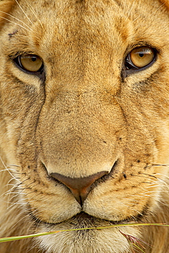 Young male lion (Panthera leo), Masai Mara National Reserve, Kenya, East Africa, Africa
