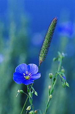 Wild blue flax (Linus perenne lewisii), Grand Teton National Park, Wyoming, United States of America, North America