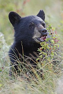 Black bear (Ursus americanus) cub eating Saskatoon berries, Waterton Lakes National Park, Alberta, Canada, North America