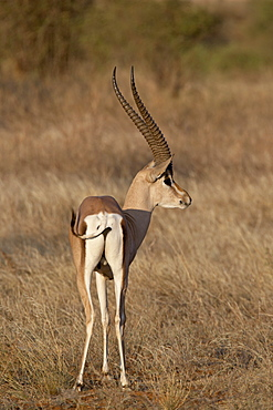 Male Grantis gazelle (Gazella granti) eating, Samburu National Reserve, Kenya, East Africa, Africa