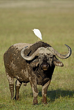 Cape buffalo (African buffalo) (Syncerus caffer) with a cattle egret (Bubulcus ibis) on its back, Lake Nakuru National Park, Kenya, East Africa, Africa