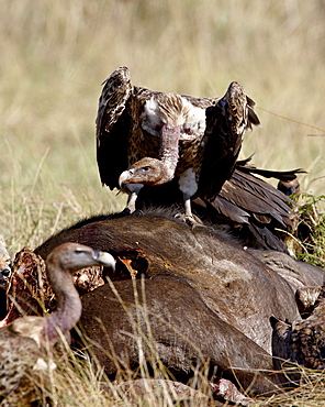 RuppellÕs griffon vulture (Gyps rueppellii) atop a Cape buffalo (African buffalo) (Syncerus caffer) carcass, Masai Mara National Reserve, Kenya, East Africa, Africa