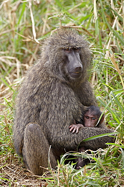 Mother and infant Olive Baboon (Papio cynocephalus anubis), Masai Mara National Reserve, Kenya, East Africa, Africa