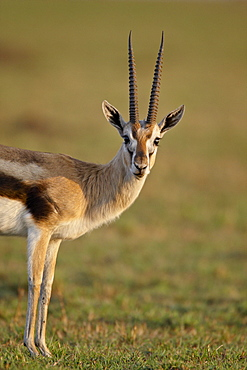 Male Thomson's gazelle (Gazella thomsonii), Masai Mara National Reserve, Kenya, East Africa, Africa
