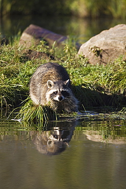 Raccoon (racoon) (Procyon lotor) at waters edge with reflection, in captivity, Minnesota Wildlife Connection, Minnesota, United States of America, North America
